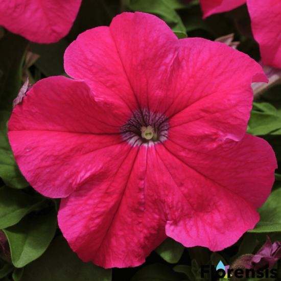 Petunia grandiflora 'Pacta Parade® Rose-Pink' – Petúnia