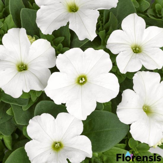 Petunia grandiflora 'Pacta Parade® White' – Petúnia