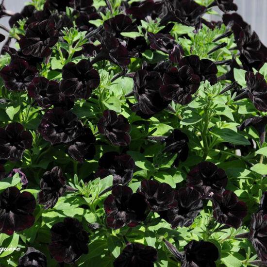 Petunia 'Sweetunia® Black Satin' – Petúnia