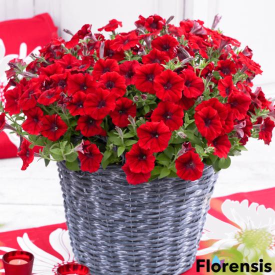 Petunia 'Viva® Bright Red' – Petúnia