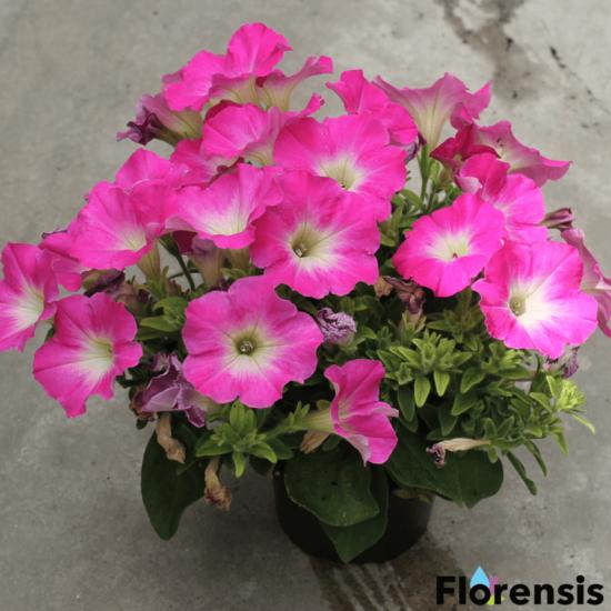 Petunia 'Viva® Pinkceptional' – Petúnia