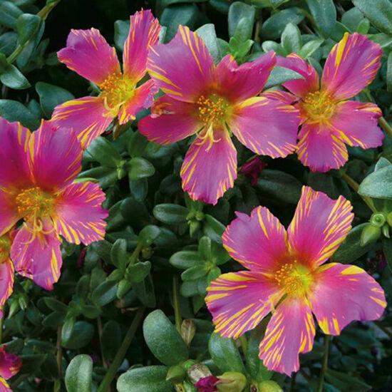 Portulaca oleracea 'Duet® Rose 'n Yellow' – Porcsinrózsa (kukacvirág)