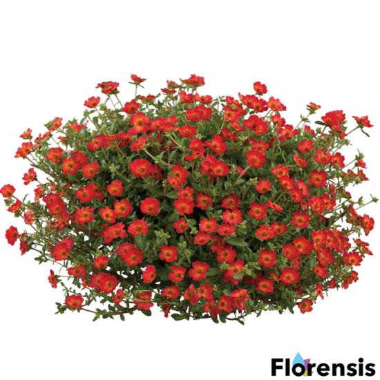 Portulaca oleracea 'Pazzaz® Red Flare' – Porcsinrózsa (kukacvirág)