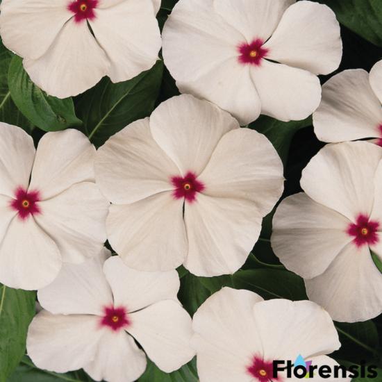 Catharanthus roseus 'Titan® Polka Dot' – Rózsameténg