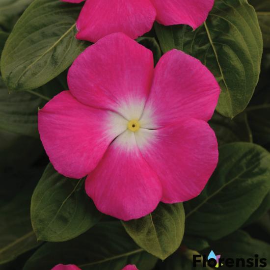 Catharanthus roseus 'Titan® Rose Halo' – Rózsameténg
