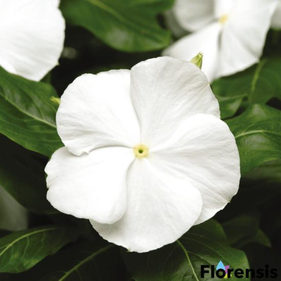 Catharanthus roseus 'Titan® White Pure' – Rózsameténg