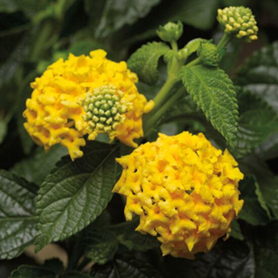 Lantana camara 'Bandana® Yellow' – Sétányrózsa
