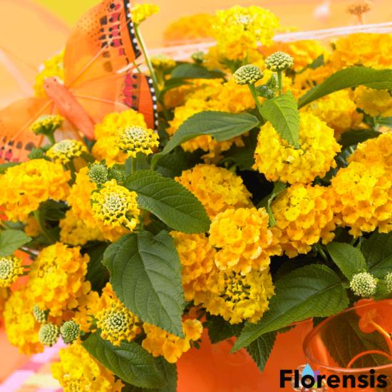Lantana camara 'Lucky® Yellow' - Sétányrózsa