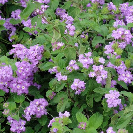 Lantana camara 'Sellowiana® Purple' – Sétányrózsa