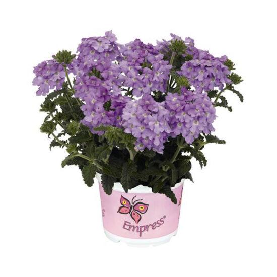 Verbena x hybrida 'Empress Flair® Lavender' – Vasfű