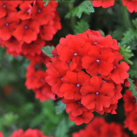 Verbena x hybrida 'Empress Flair® Red' – Vasfű