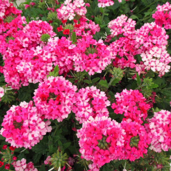 Verbena x hybrida 'Empress® Hot Pink Charme' – Vasfű