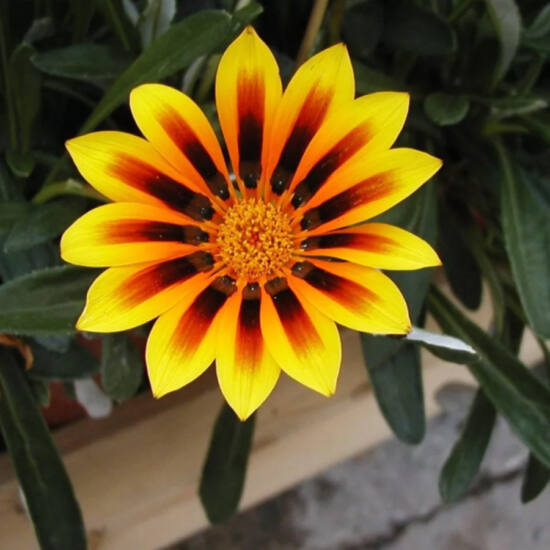 Gazania 'Magic Yellow' – Záporvirág (ámpolna)