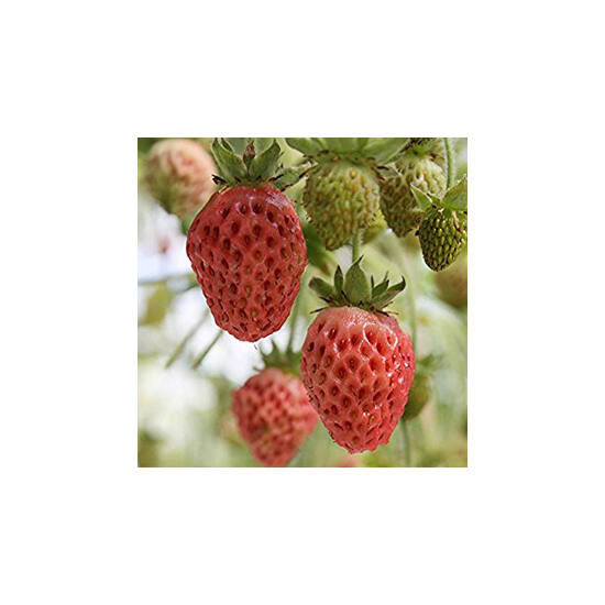 'Bubbleberry' eper palánta