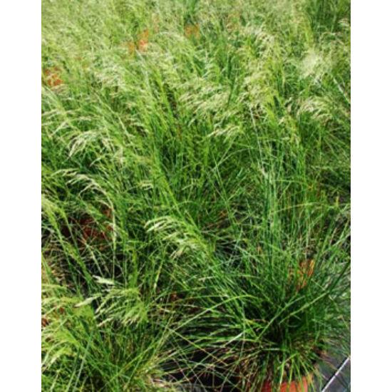 Deschampsia cespitosa 'Goldtau' -Gyepes sédbúza