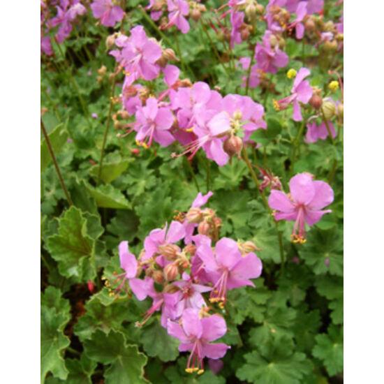 Geranium x cantabrigiense 'Karmina' – Angol gólyaorr