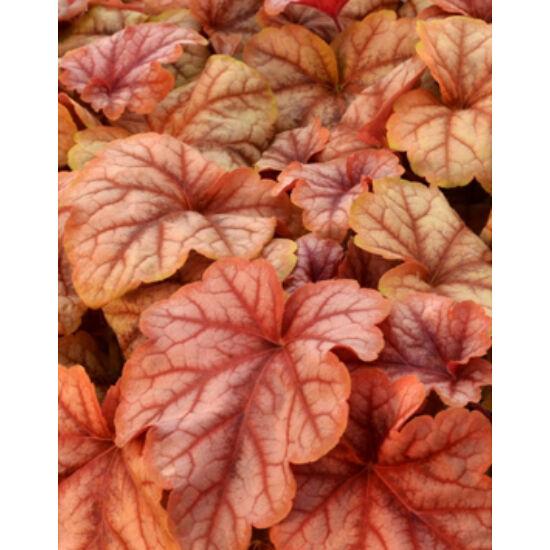 Heucherella (x) 'Copper Cascade' – Turbáncső