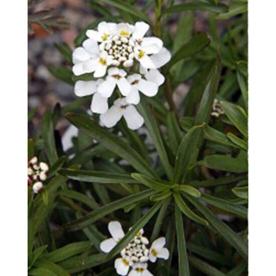 Iberis sempervirens 'Schneeflocke' (syn. 'Snowflake') - Örökzöld tatárvirág