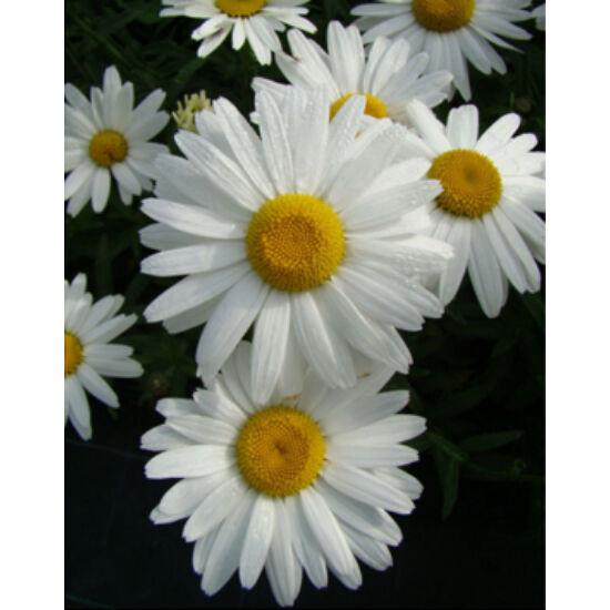 Leucanthemum x superbum 'Gruppenstolz' – Kerti, óriás margaréta