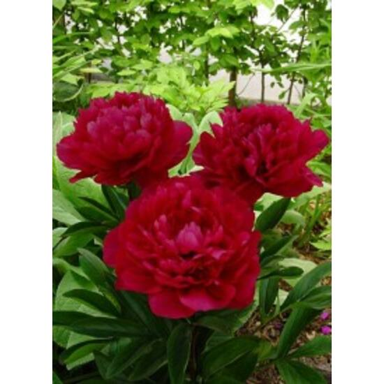 Paeonia lactiflora 'Red Magic' - Élénkvörös illatos bazsarózsa