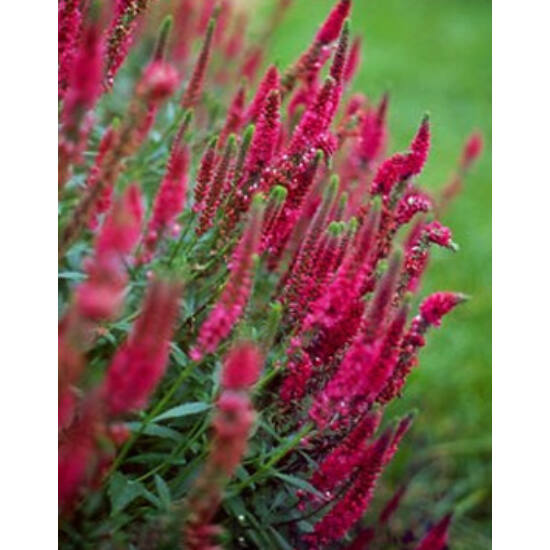 Veronica spicata 'Rotfuchs' - 'Red Fox' - Veronika