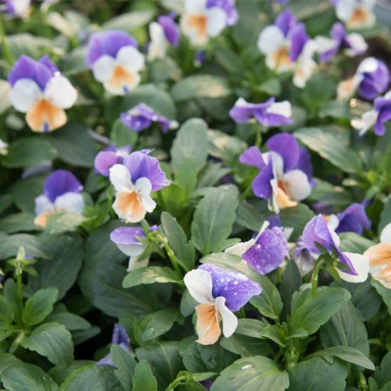 Viola cornuta Twix F1 'Apricot Azure Wing' – Szarvacskás árvácska