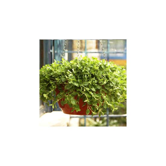 Origanum vulgare 'Compactum' - Törpe oregánó