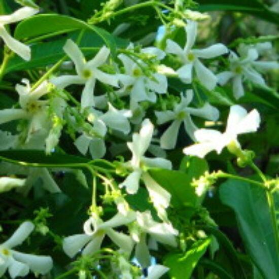 Trachelospermum jasminoides - Fehérvirágú csillagjázmin