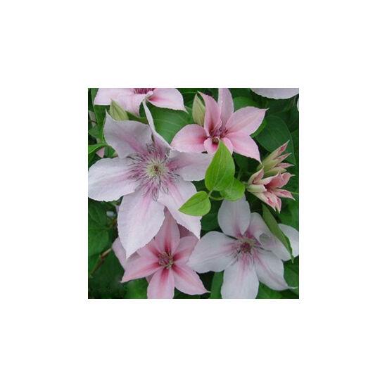 Clematis 'Jan Pawel' - Iszalag (nagy, krémfehér virágú, halvány rózsaszín csíkkal)