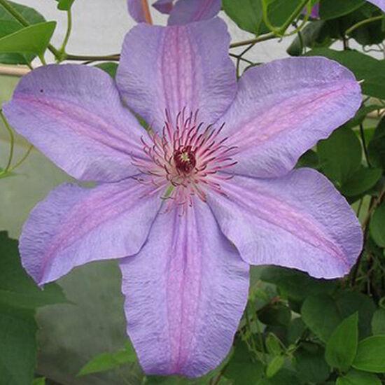 Clematis 'Minister' - Iszalag (nagy, sötétlila virágú, rózsaszín csíkokkal)