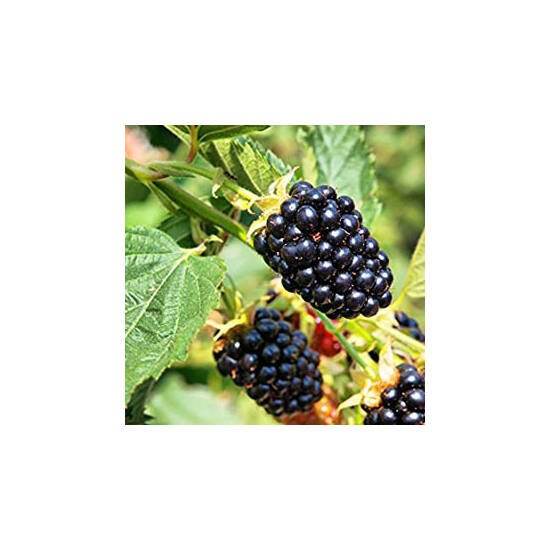 Rubus fruticosus 'Loch Ness' - Fekete szeder