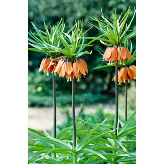Fritillaria imperialis 'Aurora' - Császárkorona