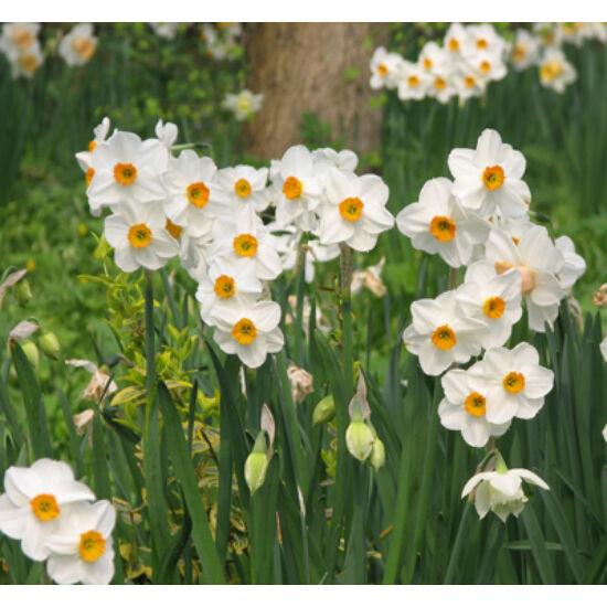 Csokros nárcisz 'Geranium'