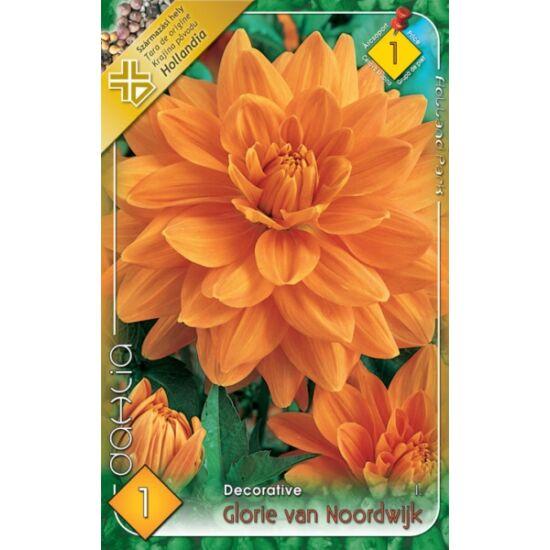 Dekoratív dália 'Glorie van Noordwijk' (lazac/narancs)