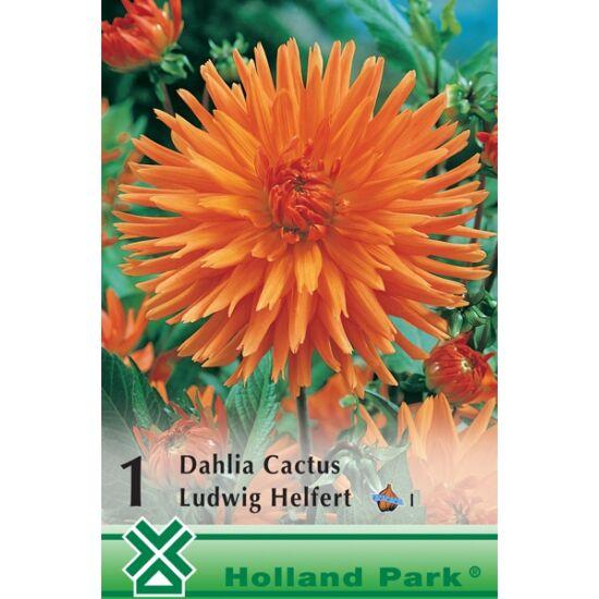 Kaktusz dália 'Ludwig Helfert' (narancssárga)