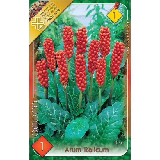 Arum italicum - Olasz kontyvirág