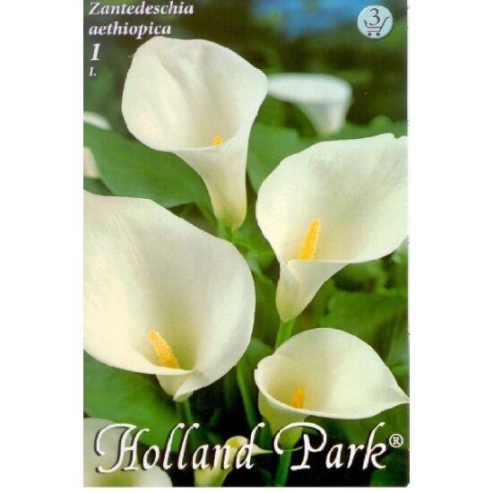 Zantedeschia aethiopica - Kála (fehér)