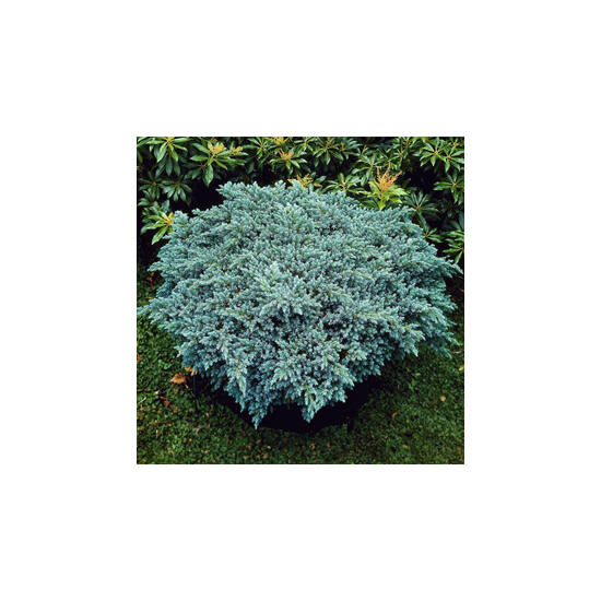 Juniperus sqamata 'Blue Star' – Kék, törpe, terülő himalájai boróka