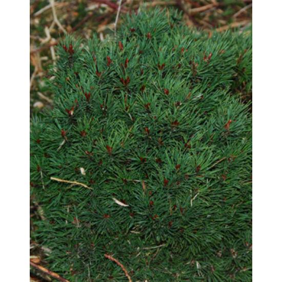 Pinus sylvestris 'St. Geroge' – Erdeifenyő