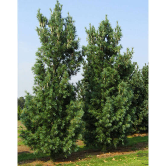 Pinus wallichiana 'Densa Hill' – Törpe himalájai selyemfenyő