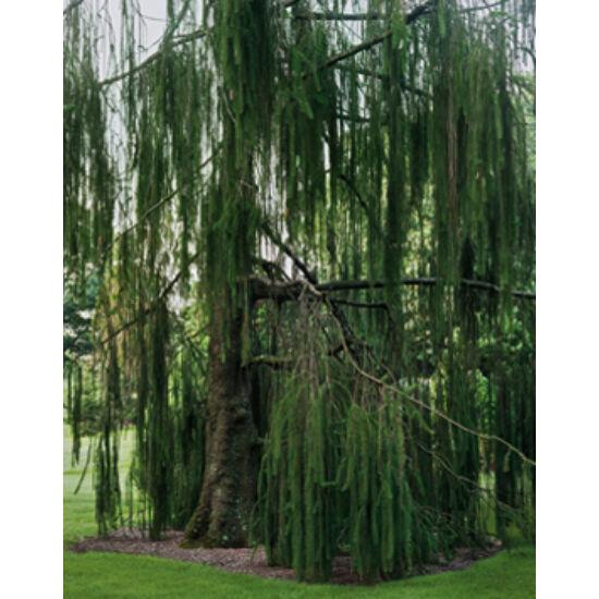 Picea abies 'Virgata' – Zuhatag lucfenyő