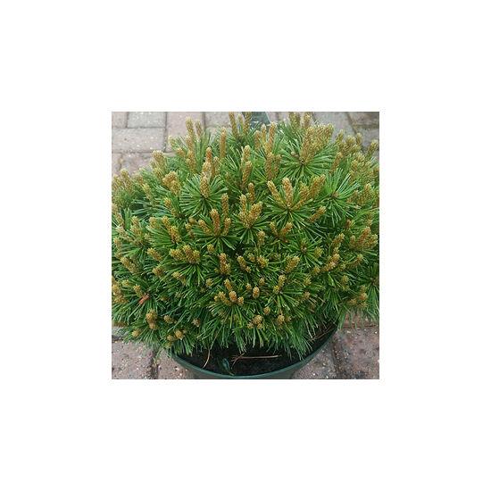 Pinus mugo 'Benjamin' – Havasi törpefenyő