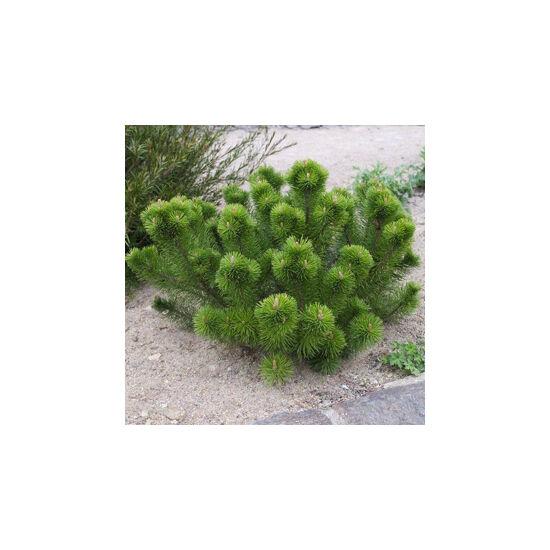 Pinus mugo var. 'Mughus' – Havasi törpefenyő
