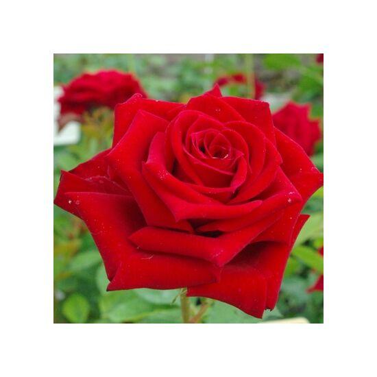 Rosa 'Schwarze (Black) Madonna' - Sötétbordó teahibrid rózsa