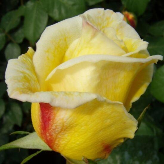 Rosa 'Casino' - Halványsárga futórózsa