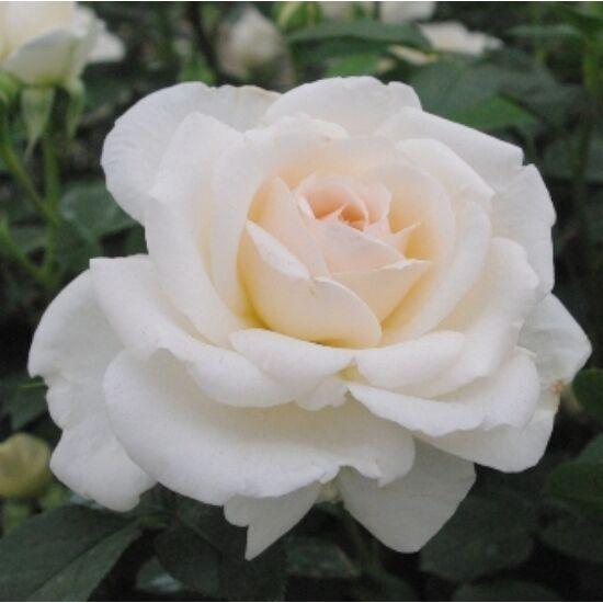Rosa 'Márton Áron' - Fehér-rózsaszínes bokorrózsa