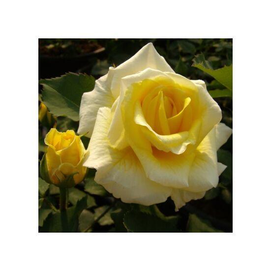 Rosa 'Diana' - Sárga ágyás rózsa