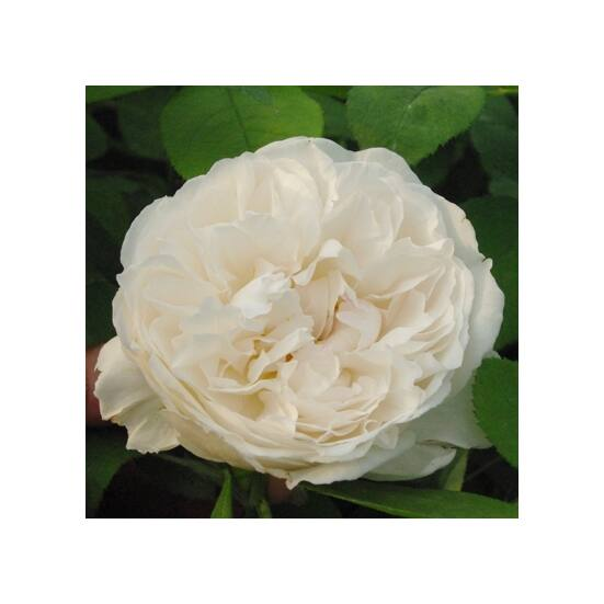Rosa 'White Mary Rose' - Romantikus rózsa