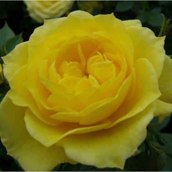 Rosa 'Gold Pin' - Sárga mini rózsa