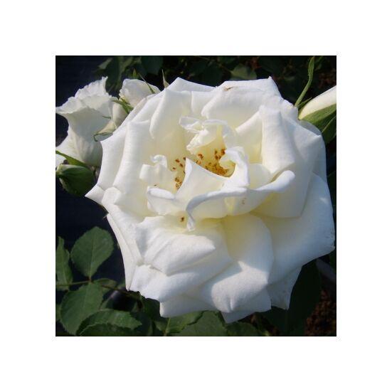 Rosa 'Haliday' - Fehér ágyás rózsa